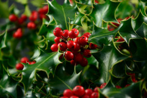 Holly Bush with the green and red of Christmas holidays